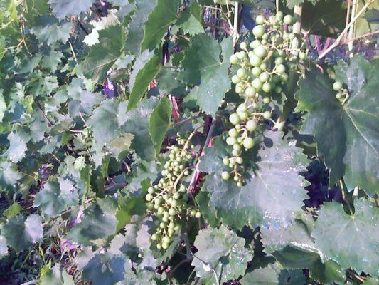 Стадия «гороха» у винограда