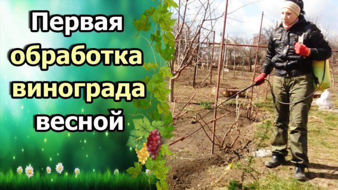 Профилактическая обработка кустов винограда