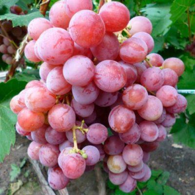 Кисть винограда Азалия