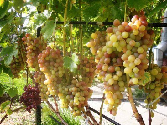 Грозди винограда Тасон