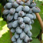 Виноград Смуглянка