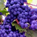 Виноград Двиетес зила
