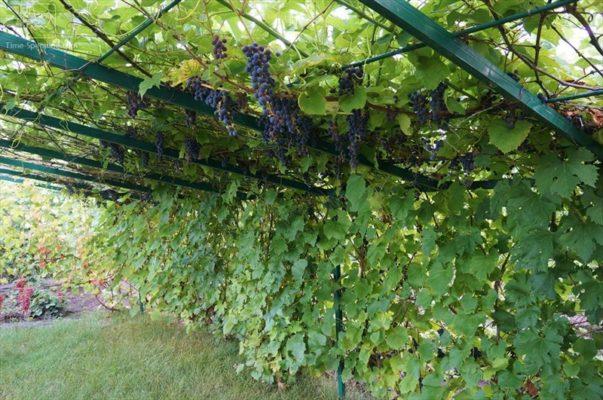 Беседка с виноградом