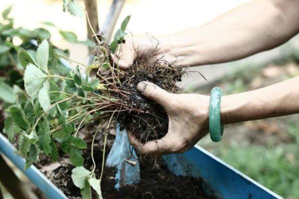 Деление корня клубники