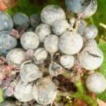 Заболевание винограда — оидиум
