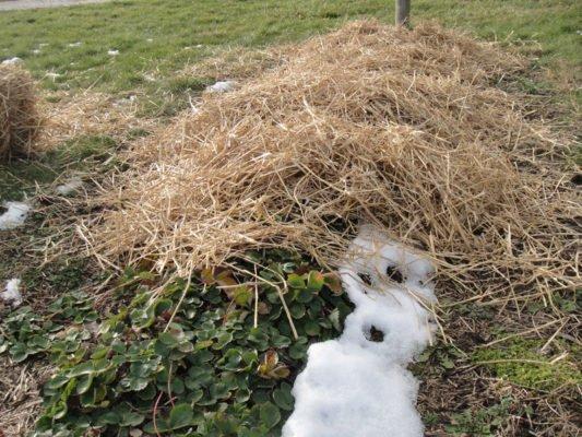 Укрытие посадок клубники на зиму