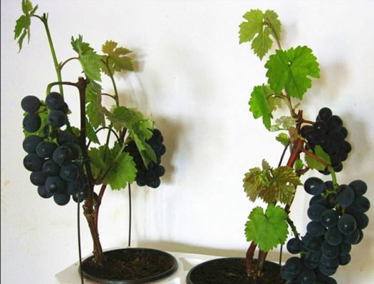 Виноград в горшке