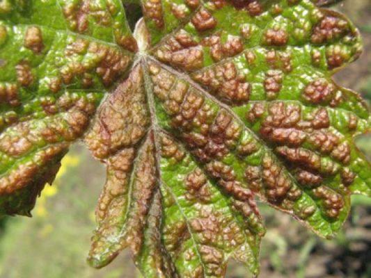 Виноградный зудень или войлочный клещ