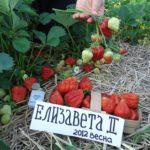 Урожай земляники Елизавета II