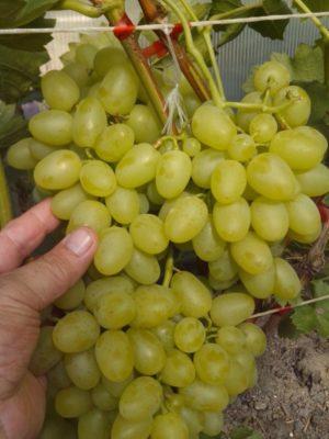 Гибридная форма винограда Надежда Аксайская
