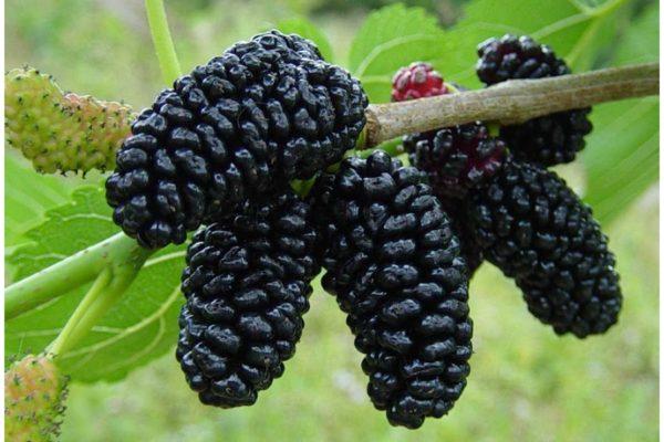 Сорт шелковицы Чёрная баронесса