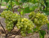Обильный урожай и крупные, тяжелые грозди выделяют Надежду Аксайскую среди схожих сортов и гибридных форм