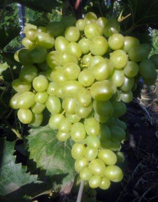 Гроздь винограда Надежда Аксайская