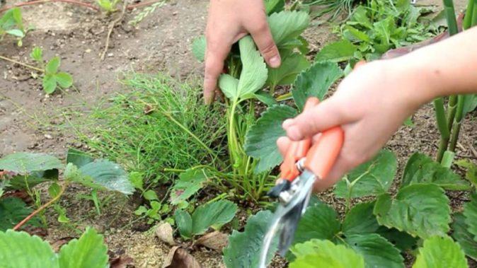 Обрезка листьев земляники
