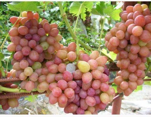 Грозди винограда София