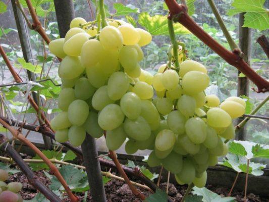 Грозди винограда сорта Надежда Аксайская