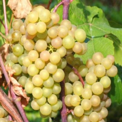 Виноград Платовский: гроздь