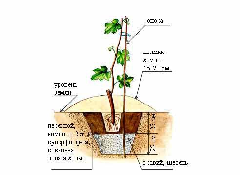 Схема посадки виноградного саженца