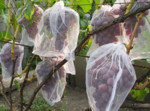 Защита урожая винограда от ос и птиц