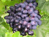 Гроздь винограда сорта Галия