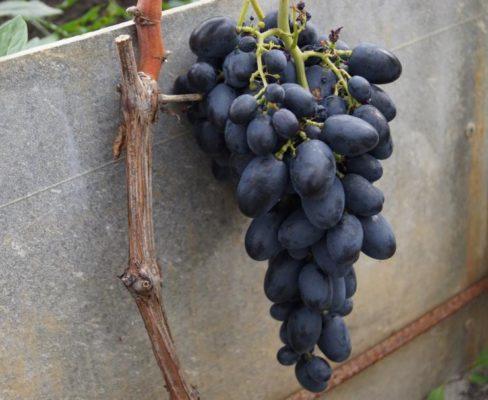 Гроздь винограда Галия