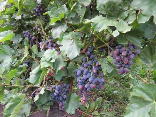 Куст Галии со спеющими гроздями