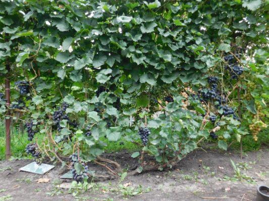 Куст винограда сорта Галия