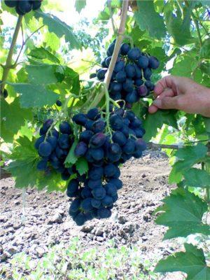 Ягоды винограда Галия на кусте