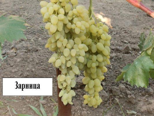 Дозревающий виноград Зарница