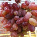 Окраска ягод Юлиана напоминает родительский сорт — Ризамат