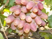 Виноград сорта Юлиан