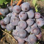 Виноград Долорес