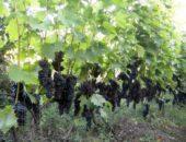 Ливадийский чёрный, виноградник
