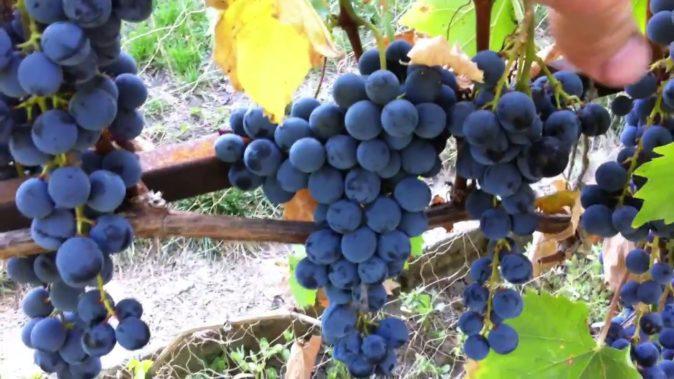 Виноград Ливадийский чёрный