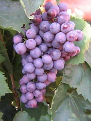 Гроздь винограда Агат Донской