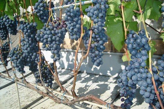 Выращивание винограда на крыше веранды дома