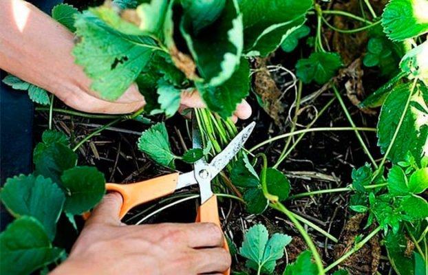 Удаление листвы клубники после уборки урожая
