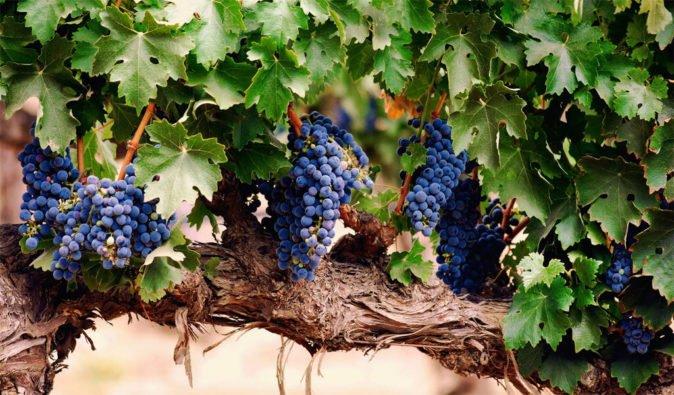 Старый куст винограда Саперави