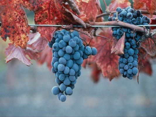 Кисти винограда Саперави