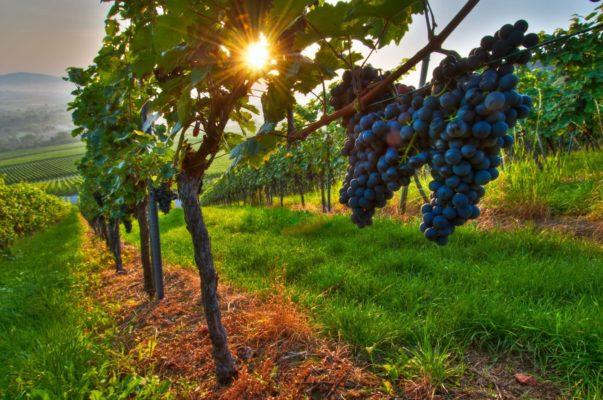 Виноградные кусты, освещённые солнцем