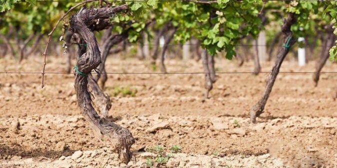 Виноградная посадка