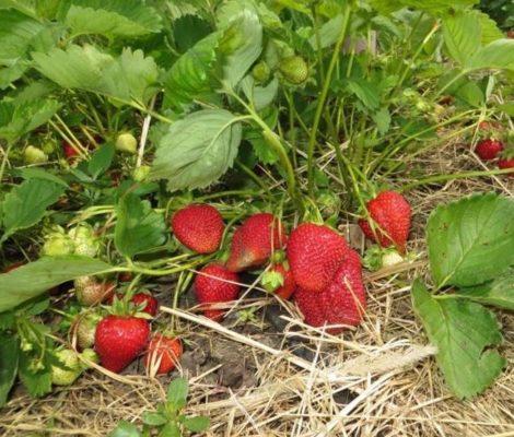 Сорт садовой земляники Багряна