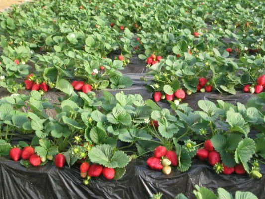 Кусты клубники с ягодами