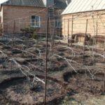 Полив винограда в приствольный круг