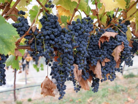 Урожай винограда на кусте