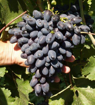 Внешний вид грозди Атоса