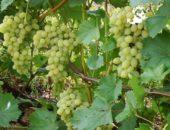 Виноград сорта Плевен.