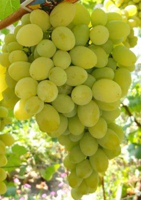 Созревающая гроздь винограда Плевен