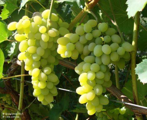 Сорт винограда Плевен Устойчивый