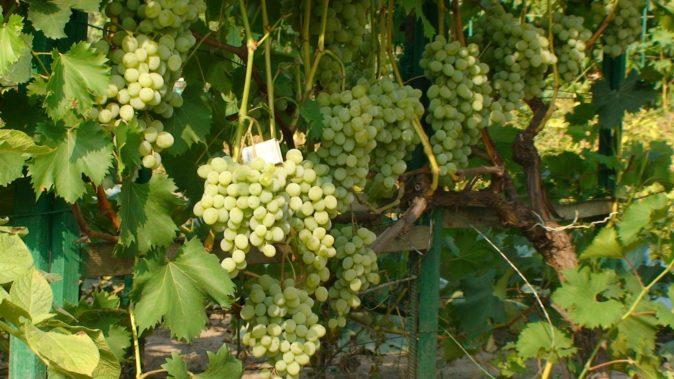 Виноград Плевен Евростандарт